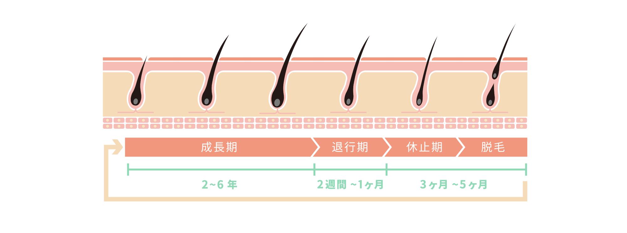成長期:2~6年、退行期:2週間~1ヶ月、休止期・脱毛:3ヶ月~5ヶ月